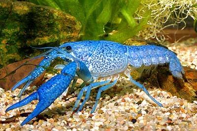 【青いザリガニの作り方】青くなる理由は!?色を変える餌・注意点も紹介!